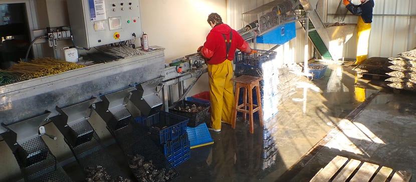 Calibrage des huîtres